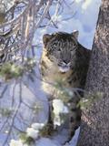Snow Leopard Sitting under Tree Fotografisk tryk af  DLILLC