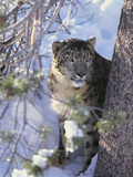 Snow Leopard Sitting under Tree Photographic Print by  DLILLC