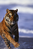 Bengal Tiger Running in Water Photographic Print by  DLILLC
