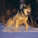 Gray Wolf Running in Snow Photographic Print by  DLILLC