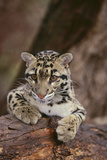 Clouded Leopard Cub Photographic Print by  DLILLC