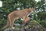 Mountain Lion and Cub Photographic Print by  DLILLC