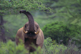 African Elephant Grazing on Tree Photographic Print by  DLILLC