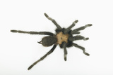 Desert Blond Tarantula Photographic Print by  DLILLC