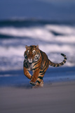 Bengal Tiger Running on Beach Photographic Print by  DLILLC