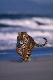 Bengal Tiger Running on Beach Photographic Print by  DLILLC