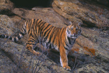 Bengal Tiger on Rocks Photographic Print by  DLILLC