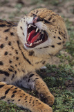 Angry Serval Photographic Print by  DLILLC
