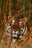 Bengal Tiger Lying in Grass Photographic Print by  DLILLC