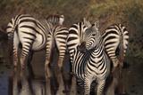 Zebra Standing Watch Photographic Print by  DLILLC