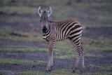 Zebra Foal Photographic Print by  DLILLC