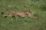 Cheetah Running in Grass Photographic Print by  DLILLC