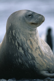 Weddell Seal Photographic Print by  DLILLC