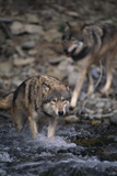 Gray Wolves Walking in River Photographic Print by  DLILLC