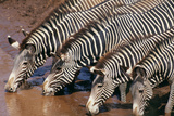 Zebras Drinking from River Photographic Print by  DLILLC