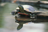 Western Painted Turtle Reflected in Pond Water Photographic Print by  DLILLC