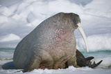 Walrus with a Broken Tusk Photographic Print by  DLILLC