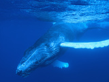 Humpback Whale Photographic Print by  DLILLC