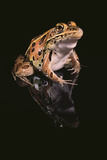 Leopard Frog Photographic Print by  DLILLC