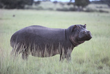 Hippopotamus in the Savanna Grass Photographic Print by  DLILLC