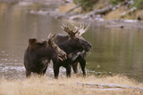 Two Moose at Riverbank Photographic Print by  DLILLC