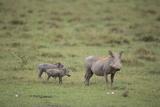 Warthogs Photographic Print by  DLILLC