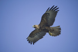 Galapagos Hawk in Flight Photographic Print by  DLILLC