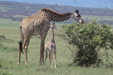 Parent and Young Giraffe Photographic Print by  DLILLC