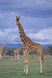 Giraffe on the Savanna Photographic Print by  DLILLC
