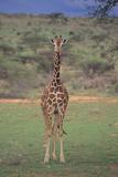 Giraffe Staring Ahead Photographic Print by  DLILLC