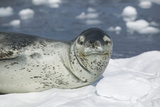 Leopard Seal on an Iceberg Photographic Print by  DLILLC
