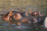 Hippopotamus and Young Cooling in Fresh Water Photographic Print by  DLILLC