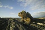 Alert Marine Iguana atop a Rock Reproduction photographique par  DLILLC
