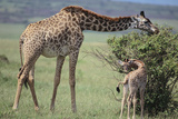 Parent and Young Giraffe Feeding Photographic Print by  DLILLC