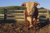 Hereford Bull Photographic Print by  DLILLC
