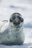 Leopard Seal Photographic Print by  DLILLC