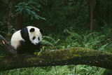 Giant Panda in the Forest Fotoprint av  DLILLC