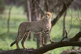 Cheetah Fotografisk tryk af  DLILLC