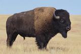 Buffalo Photographic Print by  DLILLC