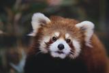 Panda rojo Lámina fotográfica por  DLILLC