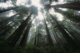 Old Growth Redwood Trees Photographic Print by  DLILLC