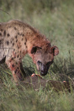 Spotted Hyena Feeding on Prey Photographic Print by  DLILLC