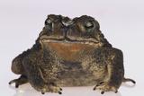 Black-Spined Toad Fotografisk tryk af  DLILLC