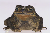 Black-Spined Toad Photographic Print by  DLILLC