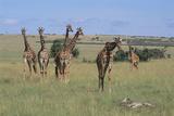 Giraffes Standing around an Injured Young Giraffe Photographic Print by  DLILLC