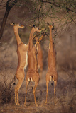 Gerenuk Feeding on Acacia Trees Photographic Print by  DLILLC