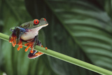 Red Eyed Tree Frog on a Blade of Grass Photographic Print by  DLILLC