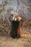 Red Panda Eating Bamboo Leaves Photographic Print by  DLILLC