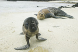 Curious Young Galapagos Sea Lion and Concerned Parent Photographic Print by  DLILLC