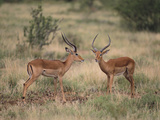 Two Male Impalas Photographic Print by  DLILLC